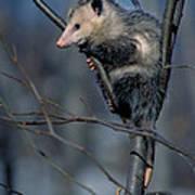 Virginia Opossum Poster