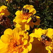 Visiting Bees Poster