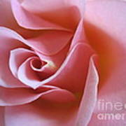Vivacious Pink Rose 2 Poster