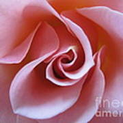 Vivacious Pink Rose 3 Poster