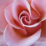 Vivacious Pink Rose 4 Poster