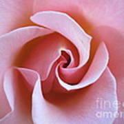Vivacious Pink Rose 5 Poster