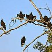 Vulture Tree Full Of Buzzards Poster