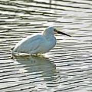 Wading Snowy Egret Poster