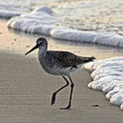 Wading Willet Poster