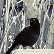 Waiting Grackle Poster