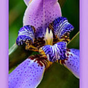 Walking Iris With Purple Border Poster