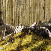 Wall Of Aspens  Poster