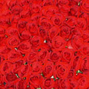 Wall Of Red Roses Poster