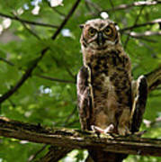 Warm Young Great Horned Owl Poster