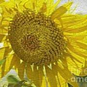 Warmth Upon My Back - Sunflower Poster