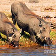 Warthog Family Poster