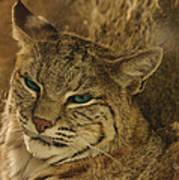 Wary Bobcat Poster by Penny Lisowski