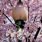 Washington Cherry Blossoms And A Lantern Poster
