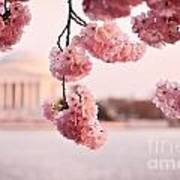 Washington Dc Cherry Blossoms Poster