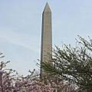 Washington Monument With Cherry Blossom Poster