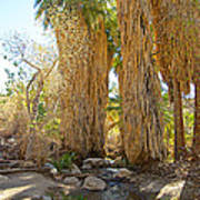 Washingtonian Fan Palms With Large Skirts In Andreas Canyon-ca Poster
