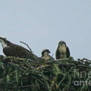 Mother Osprey Watchful Eye  Poster