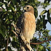 Watchful Eyes - Red Shouldered Hawk Poster