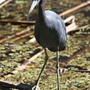 Watchful Little Blue Heron  Poster