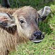 Water Buffalo Calf Poster