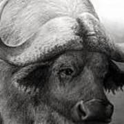 Water Buffalo Poster