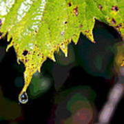 Water Droplet On Leaf Poster by Greg Thiemeyer