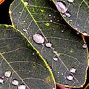 Water Drops Leaves Poster