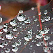 Water Drops On Cotinus Poster