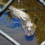 Water Hole Gator Poster