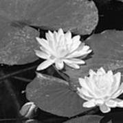 Water Lilies And Bud Poster