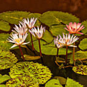 Water Lilies Img_6388 Poster