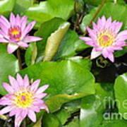 Water Lilies 3 Poster