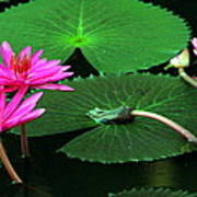 Water Lillies In Pink Poster