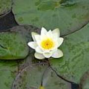 Water Lily - White Poster