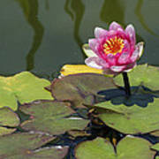 Water Lily 3 Poster