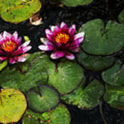 Water Lily Acanthius Poster