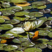 Water Lily And Bees Poster