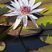 Water Lily And Lily Pads In A Pond Poster