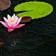 Water Lily And Raindrops Poster