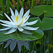 Water Lily And Reflection Poster