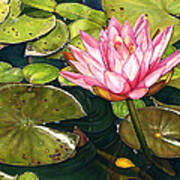 Water Lily At The Biltmore Gardens Poster
