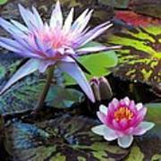 Water-lily Poster