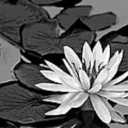 Water Lily Black And White Poster