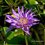 Water Lily Bloom Poster