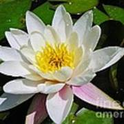 Water Lily Blossom Poster