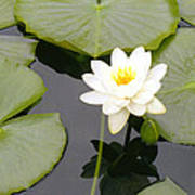 Water Lily I I Poster