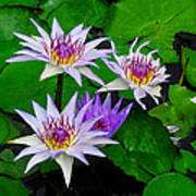 Water Lily IIi Poster