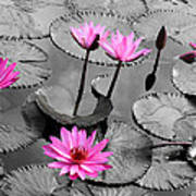 Water Lily Lotus Flower And Leaves Poster