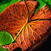 Water Lily Pad Poster